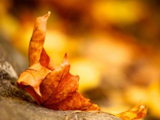 Yellow leaves wallpapers