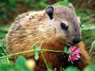 <b>Groundhog 480x360 wallpapers</b>