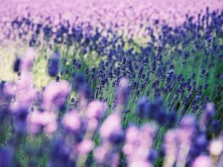 beautiful Lavender - pink 9900 wallpaper