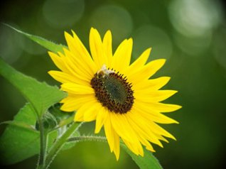 Sunflower wallpapers for blackberry bold 9900