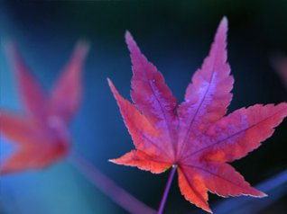 blue mountain maple leaf wallpaper