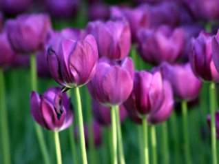 Beautiful Tulips photos