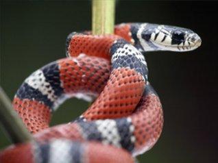 Snake wallpaper - free blackberry