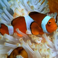 <b>Cute Clownfish for Blackberry 10 Phone</b>