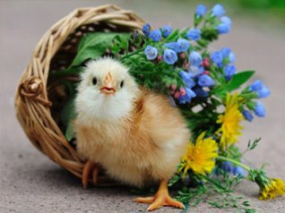 <b>Cute Chick photo for smartphone</b>