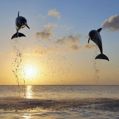 <b>Jumping Dolphins wallpaper</b>