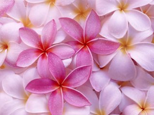 Pink Colors flower wallpaper