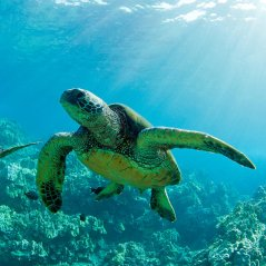 Sea turtle for blackberry A10 wallpapers