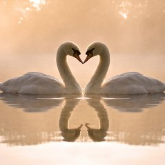 Amazing Swans for bb A10 Background wallpaper