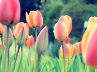 <b>Tulip HD wallpaper</b>