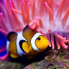 <b>Clownfish for blackberry 10 wallpaper</b>