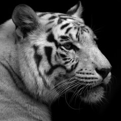 <b>White tiger for blackberry 10 wallpaper</b>