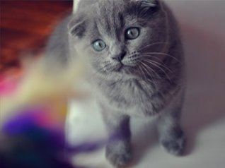 Scottish Fold wallpapers free download