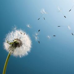 blown dandelion hd 1280x1280 wallpaper