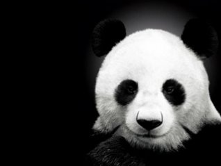 <b>HD Panda wallpaper</b>