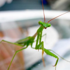 <b>Green Mantis for P9983, classic hd wallpapers</b>
