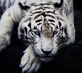 <b>white tiger 2880x2560 full hd wallpaper</b>