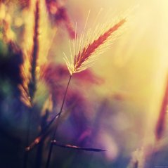 <b>Sunset Reed HD wallpaper</b>